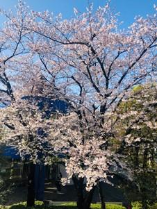 桜 スタッフコラム